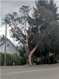 Arbutus Tree on Millstone