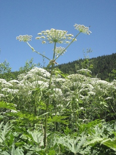 GiantHogweed