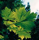 bigleafmaple_leaf