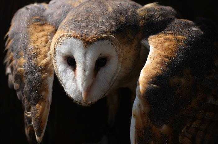 Common_Barn_Owl